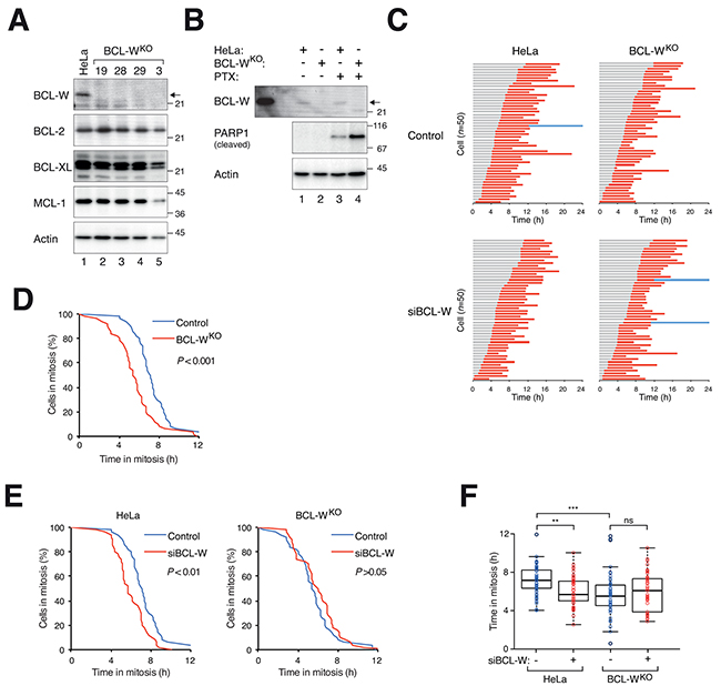 Disruption of BCL-W gene accelerates mitotic cell death.