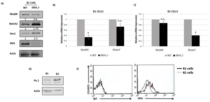 IRF4 regulates Nedd4 expression in B1 but not B2 cells.