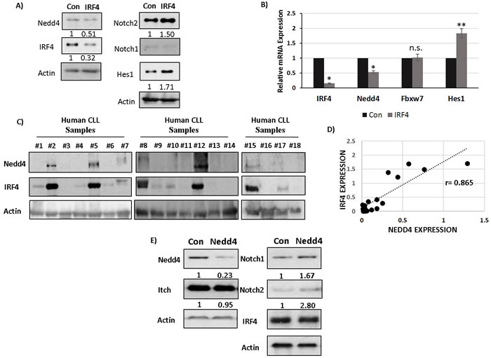 IRF4 regulates Nedd4 expression in human B cells and CLL cells to downregulate Notch protein.