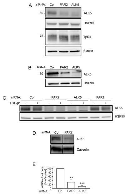 RNA interference mediated depletion of PAR2 suppresses expression of ALK5.