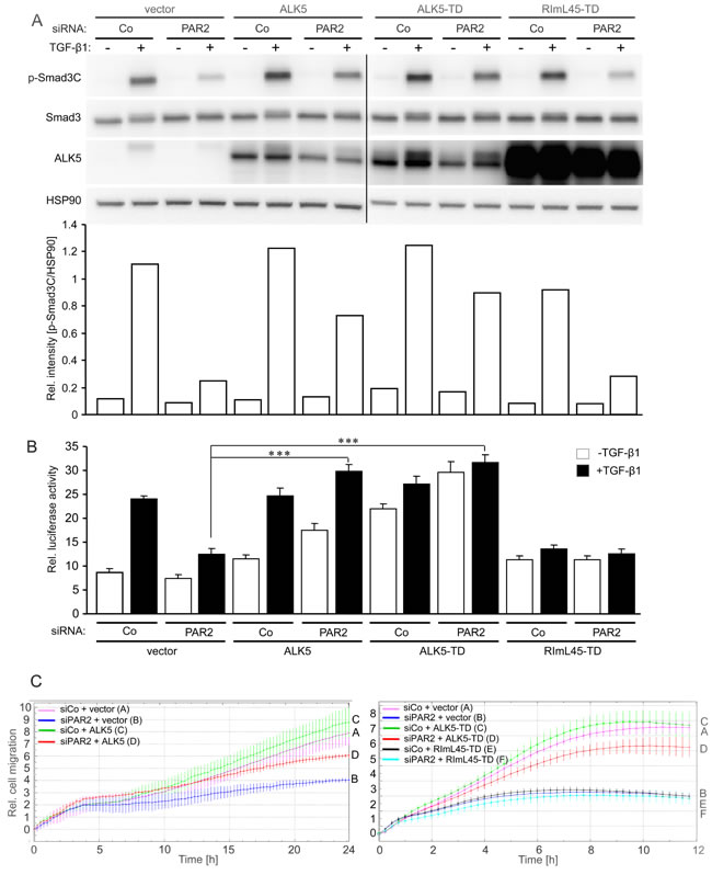 Ectopic expression of Smad binding competent ALK5 mutants can rescue TGF-β1-induced Smad activation, transcriptional activity, and cell migration.