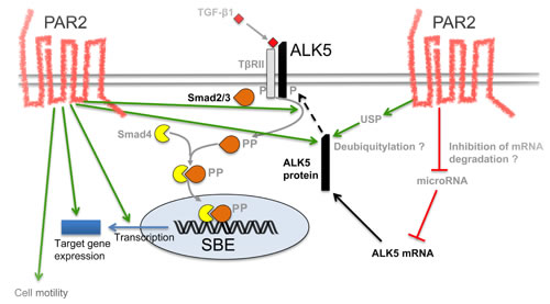 Schematic model illustrating potential mechanisms through which PAR2 regulates ALK5 expression and TGF-β signalling.
