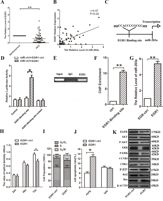 EGR1 induces miR-203a promoter activity in HCCs.