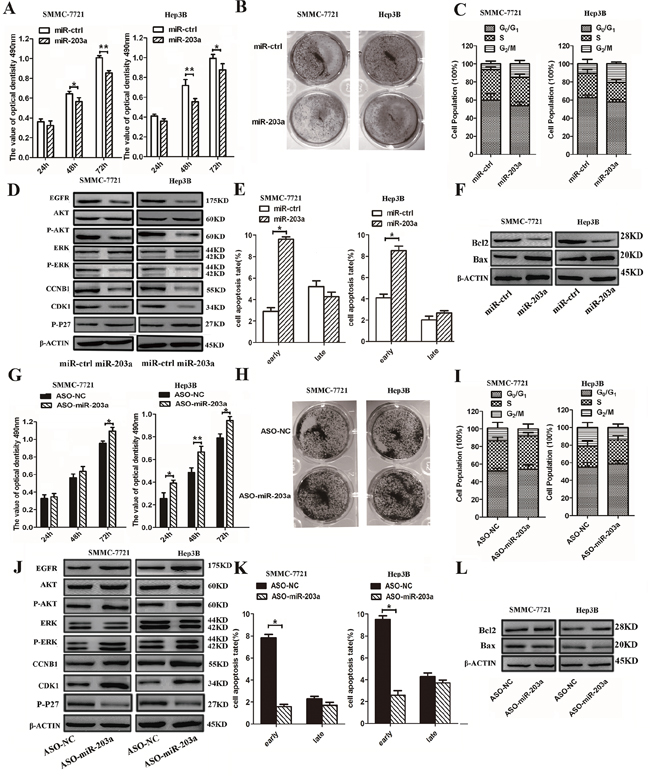MiR-203a inhibits HCC cell proliferation and promotes apoptosis in vitro.