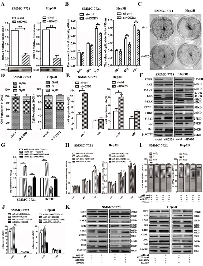 Expression levels of HOXD3 affect HCC progression.