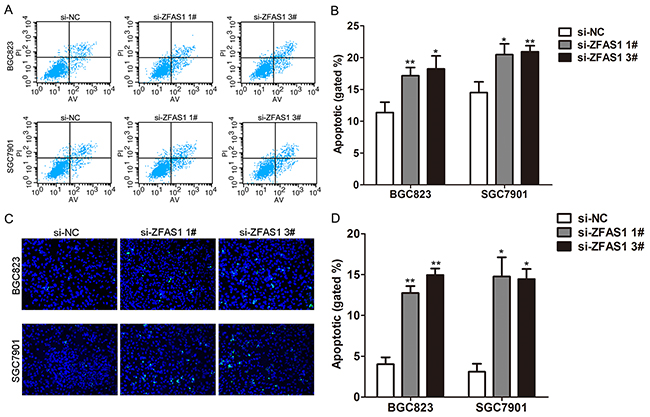 Knockdown of ZFAS1 induced gastric cancer cell apoptosis.