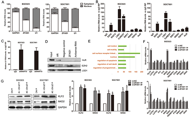 ZFAS1 interacted with EZH2 and LSD1/CoRET, and regulate KLF2 and NKD2 expression.