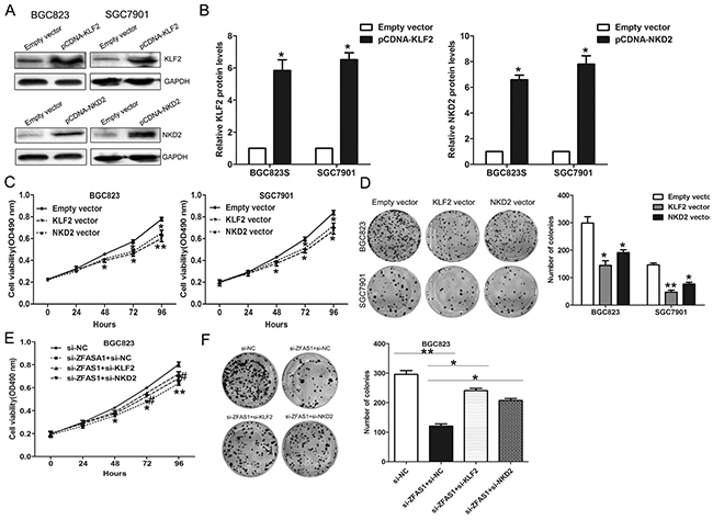 ZFAS1 function as oncogene by repressing NKD2 and KLF2 expression in gastric cancer cells.