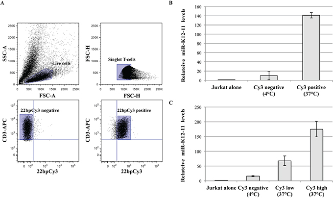 miR-K12-11 transfer correlated with 22bpCy3 transfer during co-culturing.