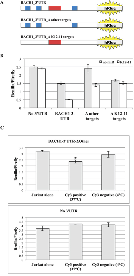 Mobile miR-K12-11 binds within acceptor T cells its canonical target BACH1-3'UTR.