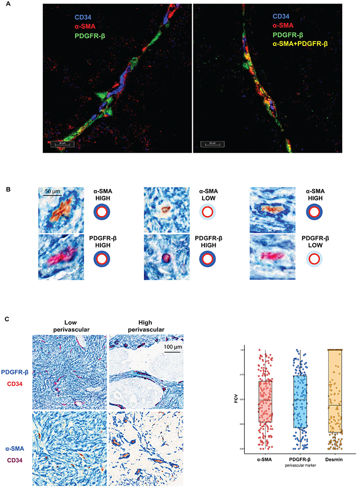 A. Individual perivascular cells express different markers.