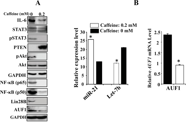 Caffeine persistently blocks the IL-6/STAT3/NF-κB feedback loop.