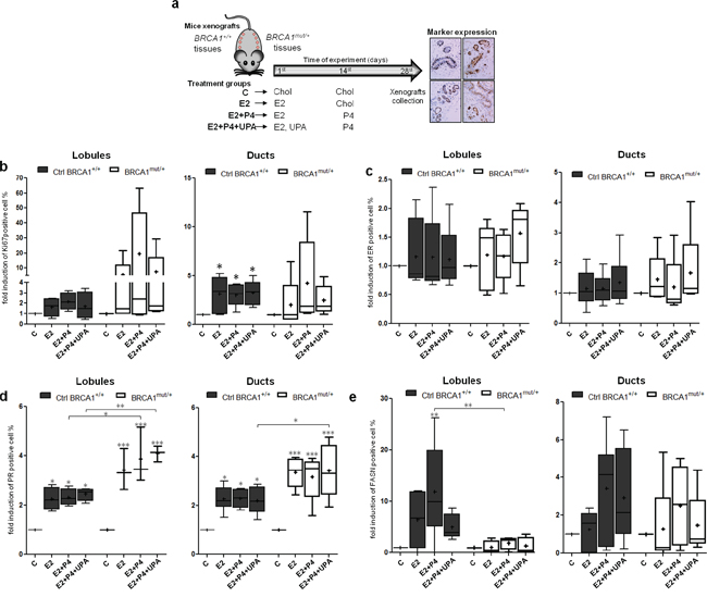 Effects of hormone treatment on BRCA1mut/+ breast tissues xenografted in mice.