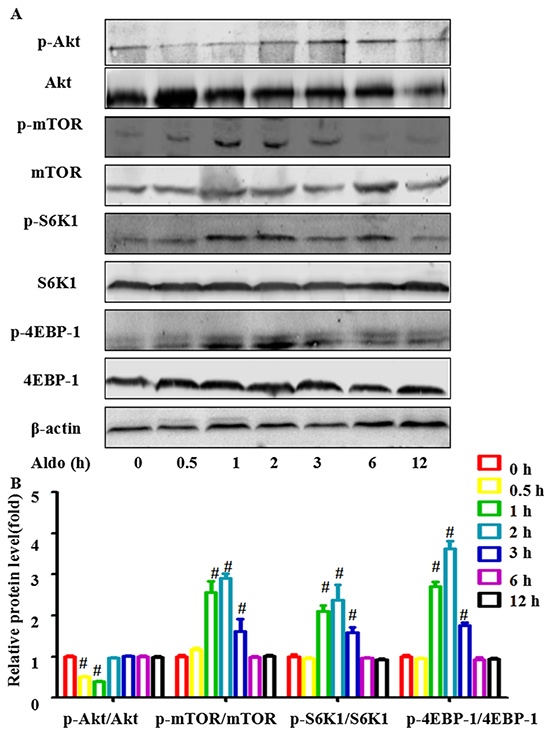 Aldo-induced autophagy is not mediated by inhibiting classic Akt-mTOR signaling in podocytes.