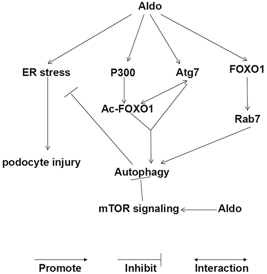 Working model of Aldo-induced compensatory autophagy in podocytes.