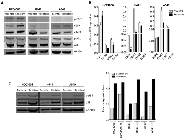 Upregulation of p38 signaling in erlotinib-resistant cells.
