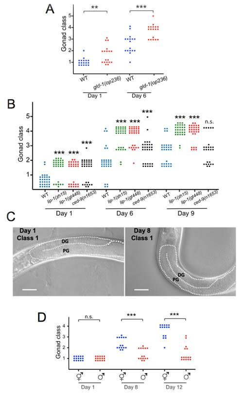Germline apoptosis promotes gonad degeneration.