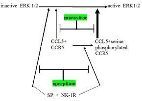 Schema showing relationship between CCR5 and neurokinin receptor (NK-1R) signaling operative in glioblastoma.