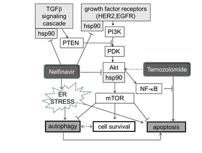 Schema indicating how HSP90, and hence its inhibition by nelfinavir (NFV) sit at several crossroads previously documented as crucial for glioblastoma growth.