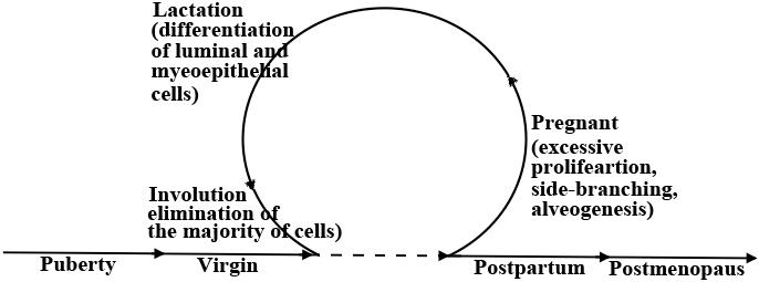 Stages of postnatal mammary gland development.