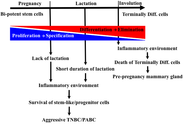 Evolution of mammary gland and pregnancy-associated TNBCs.