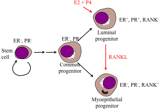 Model of the differentiation hierarchy within mammary epithelium.
