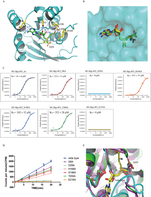 Structural and biochemical analyses define two conserved residues D29 and E216 to be the key sites for AdoMet binding.