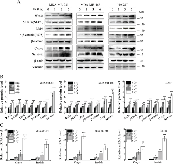 IR induces activation of Wnt/β-catenin signaling in TNBC cells.
