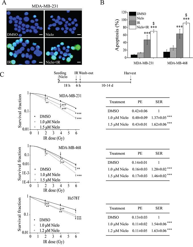 Niclosamide sensitizes TNBC cells to IR.