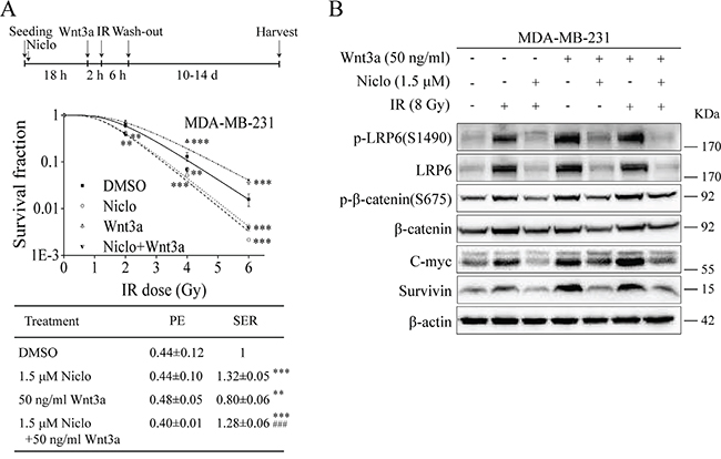 Niclosamide suppresses Wnt3a-induced Wnt/β-catenin signaling in TNBC cells and prevents Wnt3a-induced radioresistance.