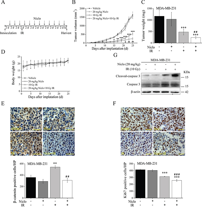In vivo antitumor efficacy of niclosamide and IR in the TNBC MDA-MB-231 xenograft mouse model.