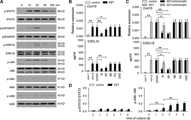 14,15-EET activates STAT3 and JNK pathways to up-regulate CXCL15 expression.