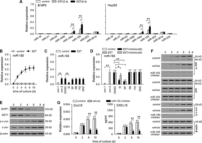 14,15-EET up-regulates miR-155 expression to maintain the sustained activation of JNK pathway.