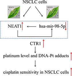EGCG induced CTR1 and enhanced NSCLC cell sensitivity to cDDP via hsa-mir-98-5p and NEAT1.