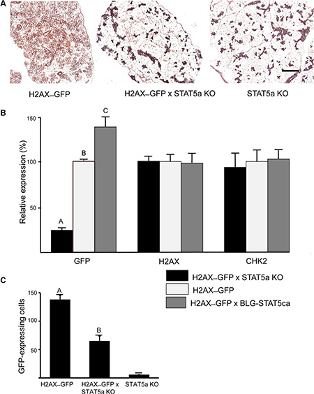 H2AX–GFP expression is abrogated in Stat5a-null mice and enhanced in the presence of forced-activated STAT5.