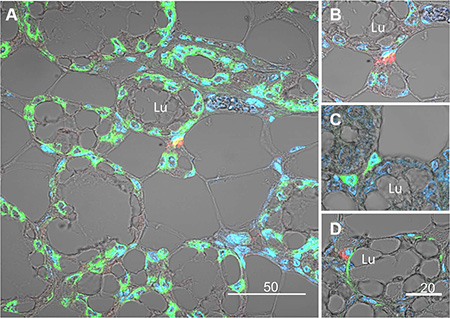 Immunofluorescence analysis and confocal microscopy demonstrating expression of the H2AX–GFP gene in basal epithelial cells composing the external layer of the lobuloalveolar structures of the pregnant mammary gland.