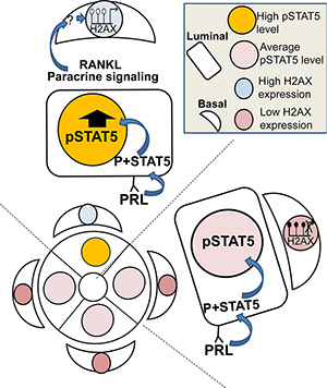 Illustration of the working hypothesis suggesting that deregulated STAT5 activity is transduced from luminal to basal mammary cells and causes H2AX promoter activation.