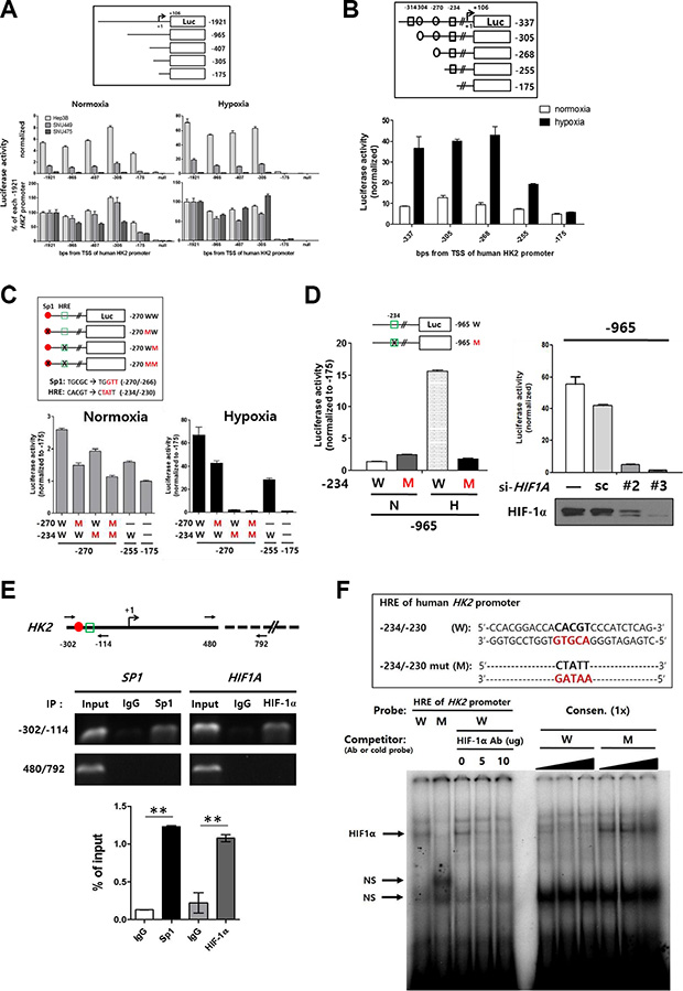 Identification of -234/-230 HRE, a key region in the HK2 promoter regulated by methylation.
