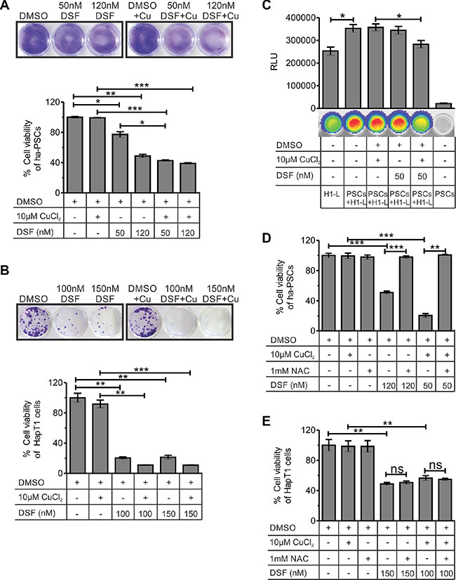 Effect of DSF and/or CuCl2 on the viability of hamster-PSCs and HapT1 cancer cells.