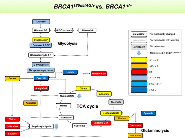 """BRCA1 """"one-hit""""-induced metabolic changes in breast epithelial cells."""