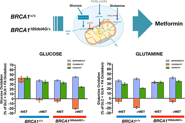 Metformin treatment differentially impacts mitochondrial fuel usage in BRCA1 haploinsufficient breast epithelial cells.