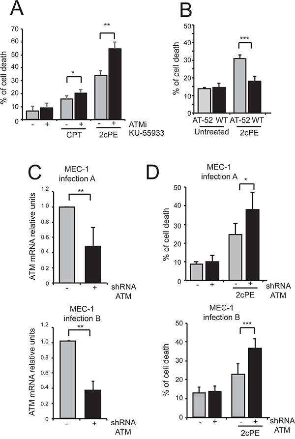 ATM inhibition strengthens apoptosis induced by 2cPE.