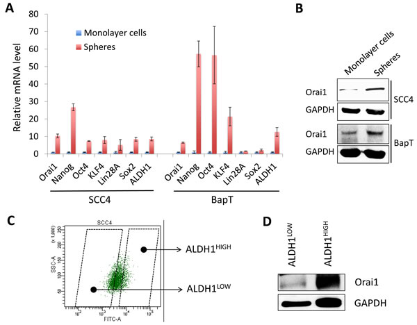 Orai1 expression is enriched in CSC populations of OSCC.