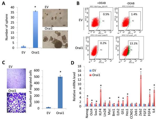 Ectopic Orai1 expression promotes CSC phenotype in non-tumorigenic immortalized oral epithelial cells.