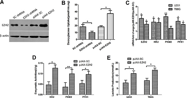 EZH2 is involved in the glycolytic metabolism in glioblastoma cells.