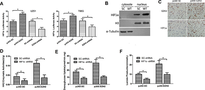 EZH2 requires HIF1α to mediate glioblastoma metabolic adaptation.