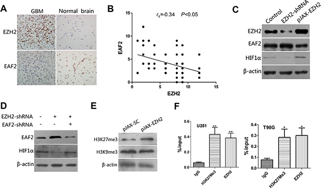 EAF2 is an EZH2 target gene involved in the regulation of HIF1α.