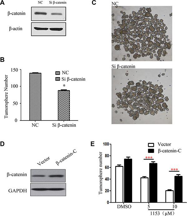 β-catenin Knock down attenuates tumorsphere formation and overexpression of active β-catenin weakens the SNG1153′s inhibitory effect on H460 tumorspher.