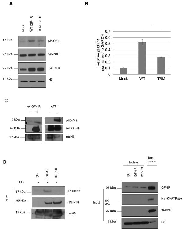 IGF-1R phosphorylates histone H3Y41.