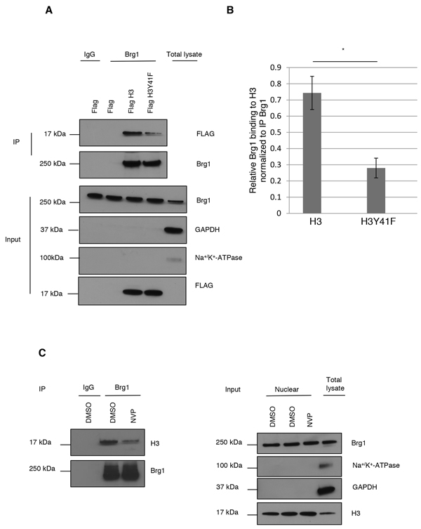 pH3Y41 potentially stabilizes Brg1 binding to chromatin.